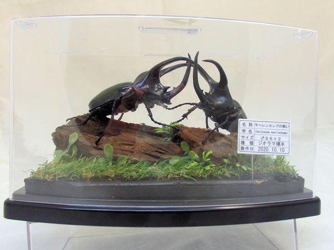 リアルな昆虫精密フィギュアをベースに製作 高品質 今にも動き出すかのような自然の雰囲気を醸し出している ジオラマ標本です モーレンカンプカブト♂2匹の戦い レプリカ標本 バースデー 記念日 ギフト 贈物 お勧め 通販