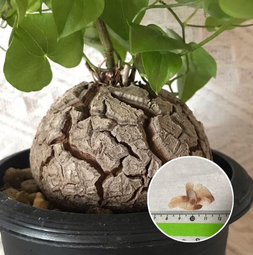 人気ショップが最安値挑戦 成長するとひび割れがだんだん大きくなり まるで亀の甲羅のように見えるのでつけられた名前です 新商品!新型 塊根植物 亀甲竜 Dioscorea 種子 種子のまき方の説明書付き elephantipes