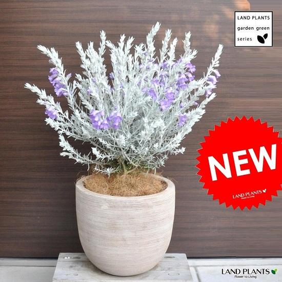 エレモフィラ・ニベア デザインの良い テラコッタ鉢 シルバーリーフ エレモフィラニベア ホワイトツリー 敬老の日 ポイント消化 観葉植物