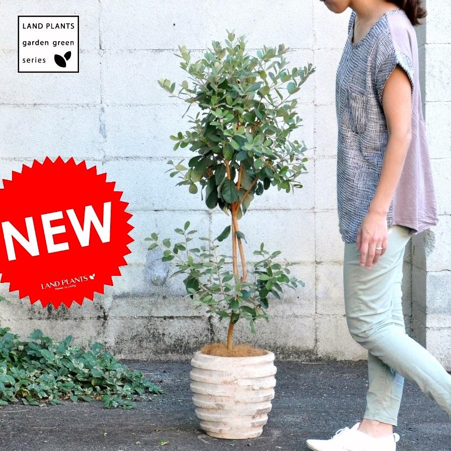 【 ガーデンツリー 】【果樹】H120cm フェイジョア アンティークブラウン鉢に植えた アナナスガヤバ Garden green series トライアンフ 敬老の日 ポイント消化 観葉植物