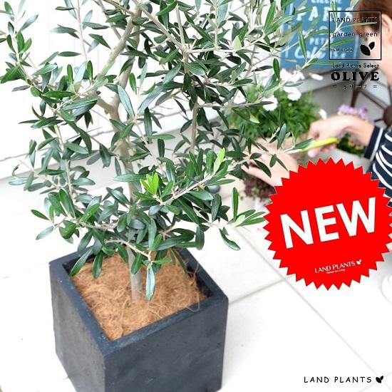 正規店 オリーブの木 8号サイズ シンボルツリーに最適です オリーブの樹 ファイバー キューブ 黒色 陶器鉢 鉢植え ココファイバー 育て方 軽量 株立ち トネリコ FIBER CLAY 正方形 観葉植物 ファイバークレイ オリーブ 送料無料 スクエア 四角 安全 繊維 苗 鉢 苗木 黒 灰 大型 ブラック