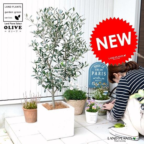 オリーブ (白色) ファイバー キューブ 陶器鉢 鉢植え 軽量 株立ち トネリコ FIBER CLAY(ファイバークレイ) 鉢 白 ホワイト 正方形 四角 スクエア 苗 苗木 大型 繊維 観葉植物 送料無料 オリーブの木