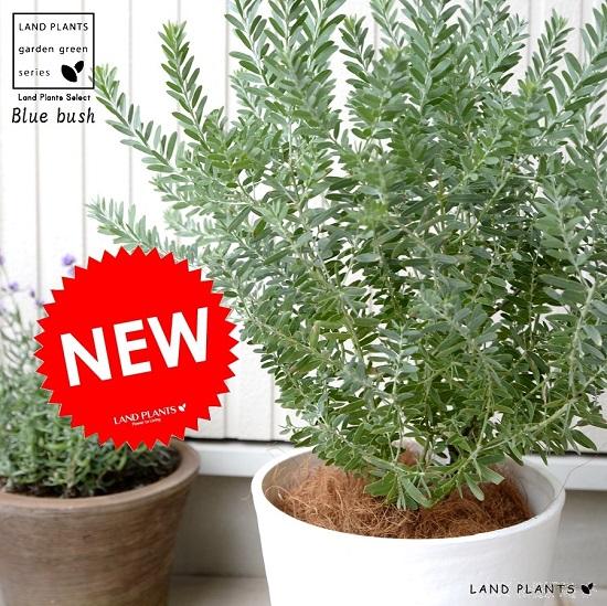 アカシア(ブルーブッシュ) 白色 セラアート鉢 低木仕立て 大型 アカシアの木 オーストラリアンプランツ OG 鉢植え 鉢 白 ホワイト 観葉植物 送料無料