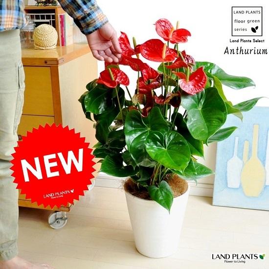 NEW!! アンスリューム × 白セラアート鉢植え 真赤な花付き観葉植物 アンスリウム アンス 母の日【母の日ギフト】 敬老の日 ポイント消化 観葉植物