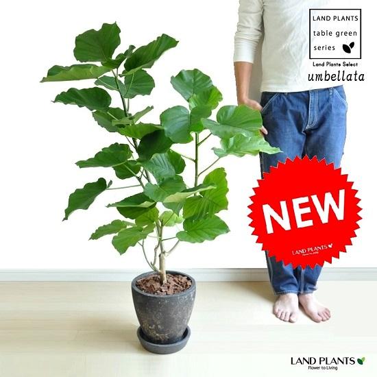ウンベラータ(自然樹形) 黒色 エッグ型 ラウンド陶器鉢(バークチップ) 鉢植え 鉢 H100程度 8号 黒 ブラック 観葉植物 送料無料