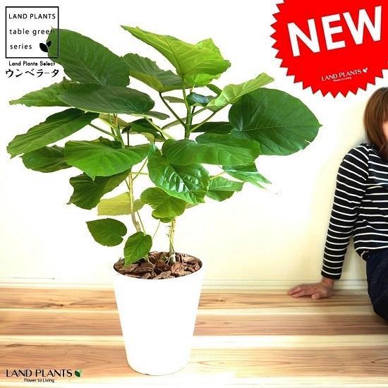 ウンベラータ (株立ち) 8号 白色 セラアート 鉢植え ゴム ゴムノキ ゴムの木 ハート型 白 ホワイト 丸 観葉植物