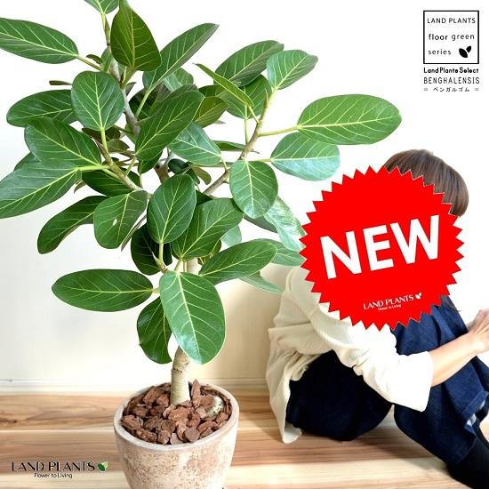 ベンガルゴム(自然樹形) エッグラウンド 陶器鉢 (茶色)鉢植え 大型 ベンガレンシス ゴム ゴムの木 ンガルボダイジュ 茶 ブラウン ベージュ 丸 観葉植物 丸い葉 banyan バンヤンジュ