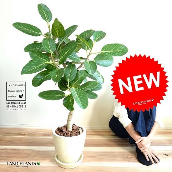 ベンガレンシス(自然樹形) エッグ型 ラウンド 陶器鉢 (クリーム色)鉢植え 大型 ベンガルゴム ゴム ゴムの木 ンガルボダイジュ 白 ホワイト 丸 観葉植物 丸い葉 banyan バンヤンジュ
