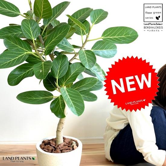 ベンガルゴム(自然樹形) エッグラウンド 陶器鉢 (クリーム色)鉢植え 大型 ベンガレンシス ゴム ゴムの木 ンガルボダイジュ 白 ホワイト 丸 観葉植物 丸い葉 banyan バンヤンジュ