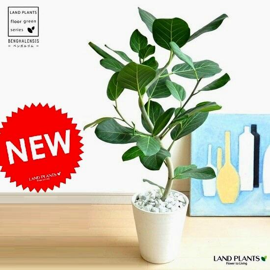 ベンガルゴム (2D曲がり) 8号 セラアート鉢 白色 竜鉢植え 大型 ベンガレンシス ゴム ゴムの木 べンガルボダイジュ 白 ホワイト 丸 観葉植物 丸い葉 送料無料 banyan バンヤンジュ