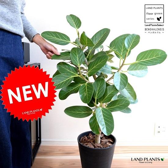 ベンガルゴム 黒色 セラアート 8号 サイズ鉢植え 大型 ベンガレンシス ゴム ゴムの木 ンガルボダイジュ 黒 ブラック 丸 観葉植物 丸い葉 banyan バンヤンジュ
