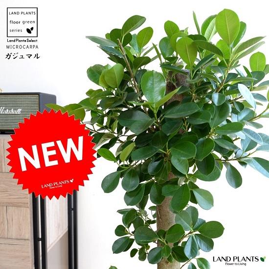 ガジュマル (朴仕立て) 白色 セラアート 幹の太い 幸福をもたらす 精霊が住む木 大型 送料無料 鉢植え 鉢 白 丸 ホワイト 観葉植物 マーシャル