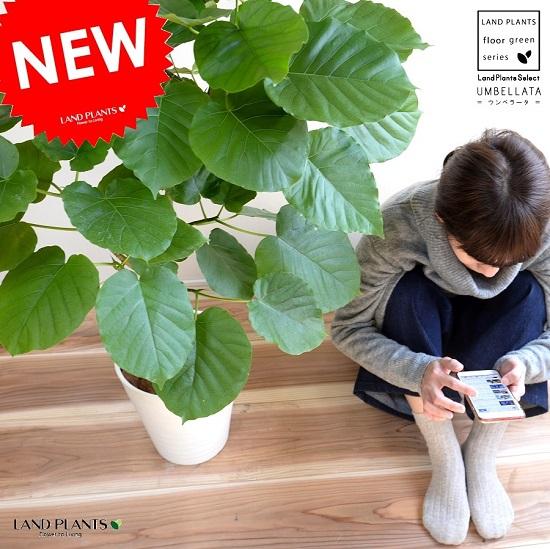 ウンベラータ 白色 セラアート鉢 8号 (自然樹形) 鉢植え 大型 観葉植物 【ギフト配送可】8号鉢 送料無料