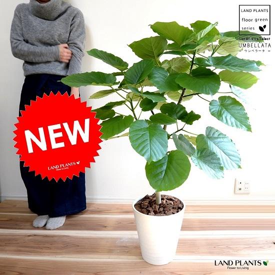 ウンベラータ (自然樹形) 8号 白色 セラアート鉢 鉢植え 大型 観葉植物 【ギフト配送可】8号鉢 送料無料
