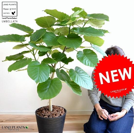 ウンベラータ 8号 ブラック セラアート鉢 鉢植え 大型 観葉植物 (自然樹形) 【ギフト配送可】8号鉢 送料無料 黒 ブラック 丸