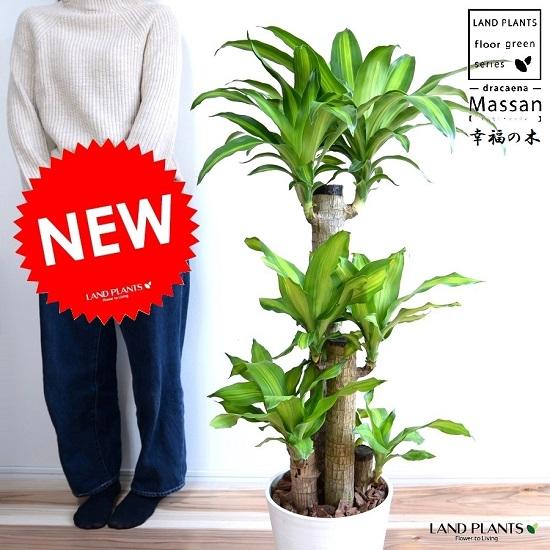 幸福の木 マッサン (白色) セラアート鉢 8号 ドラセナマッサン マッサンゲアナ ギアナ 鉢植え 鉢 丸 白 ホワイト 観葉植物 幸福の樹