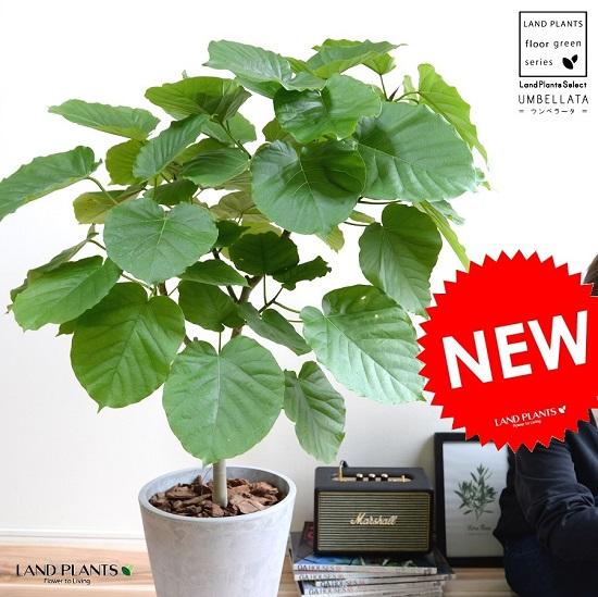ウンベラータ (自然樹形) スタイリッシュ グレー ポット ファイバー製 鉢植え 大型 8号 観葉植物 送料無料 丸 鉢 灰 灰色 コンクリート ねずみ