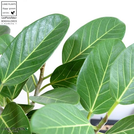 ベンガルゴム(自然樹形) 8号 セラアート (白色)鉢植え 大型 ベンガレンシス ゴム ゴムの木 ンガルボダイジュ 白 ホワイト 丸 観葉植物 丸い葉 banyan バンヤンジュ