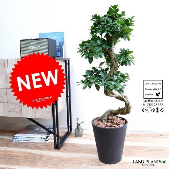ガジュマル (曲がり盆栽) 黒色 セラアート鉢 8号 鉢植え がじゅまる 大型 昇り竜 鉢 黒 ブラック 丸 観葉植物 送料無料 bonsai