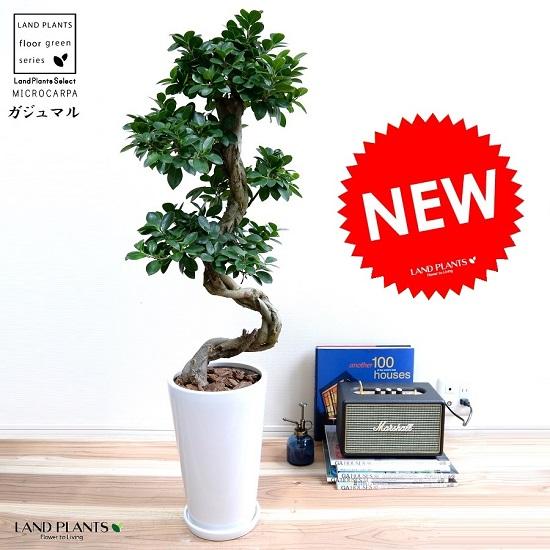 ガジュマル (曲がり盆栽) 白色 丸形 スリム 陶器鉢 鉢植え 陶器 がじゅまる 大型 昇り竜 鉢 白 ホワイト 丸 観葉植物 送料無料 bonsai