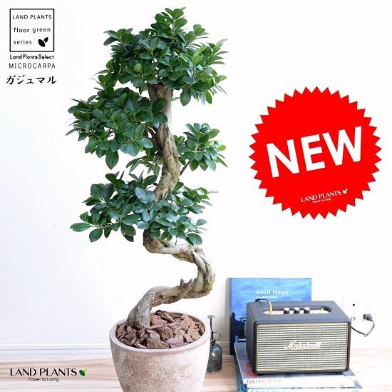 ガジュマル (曲がり盆栽) 茶色 エッグラウンド 陶器鉢 鉢植え 陶器 がじゅまる 大型 昇り竜 鉢 茶 ブラウン ベージュ 砂色 丸 観葉植物 送料無料 bonsai