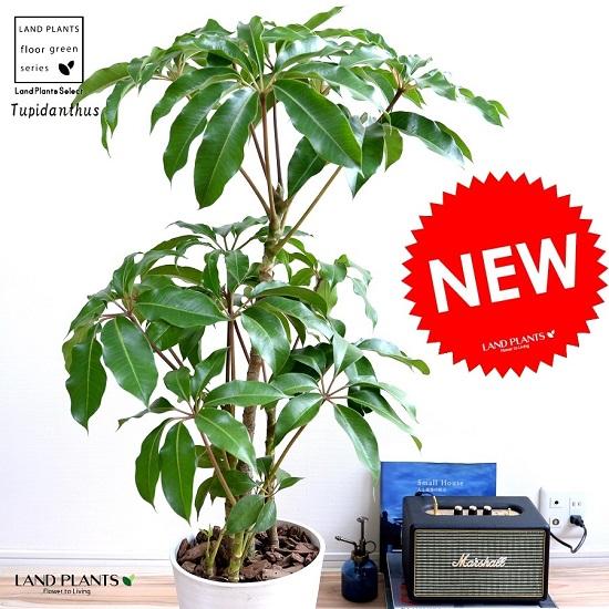 ツピタンサス 白色 セラアート鉢 8号 鉢植えシェフレラ ピュックレリ 大型 鉢 白 ホワイト 丸 観葉植物 送料無料