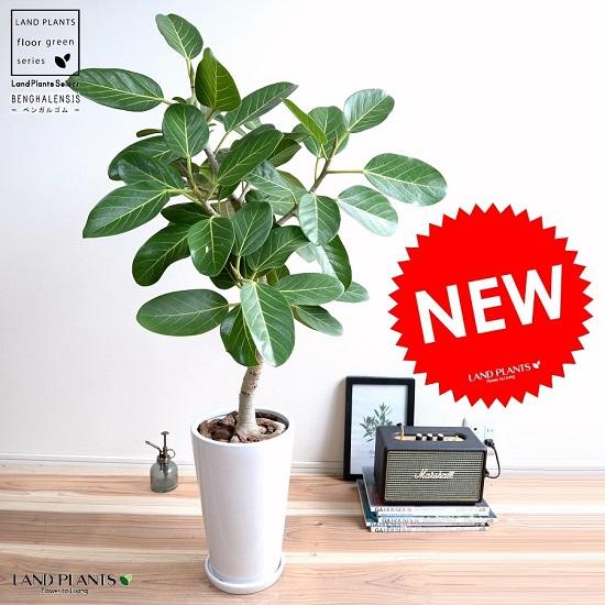 ベンガレンシス(自然樹形) 白色 トール 陶器鉢 (スリム型) 鉢植え 大型 ベンガルゴム ゴム ゴムの木 べンガルボダイジュ 白 ホワイト 丸 観葉植物 丸い葉 banyan バンヤンジュ