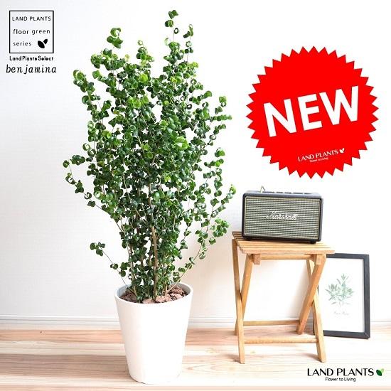ベンジャミン (バロック) 白色 セラアート鉢 8号 鉢植え 鉢 苗 苗木 大型 観葉植物 白 ホワイト ラウンド 丸 送料無料