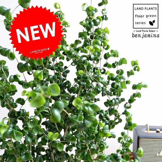 ベンジャミン (バロック) 8号 白色 セラアート鉢 鉢植え 鉢 苗 苗木 大型 観葉植物 白 ホワイト ラウンド 丸 送料無料