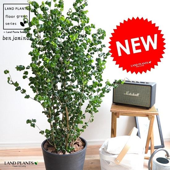 ベンジャミン バロック (黒色) セラアート鉢 8号 鉢植え 鉢 苗 苗木 大型 観葉植物 黒 ブラック ラウンド 丸 送料無料