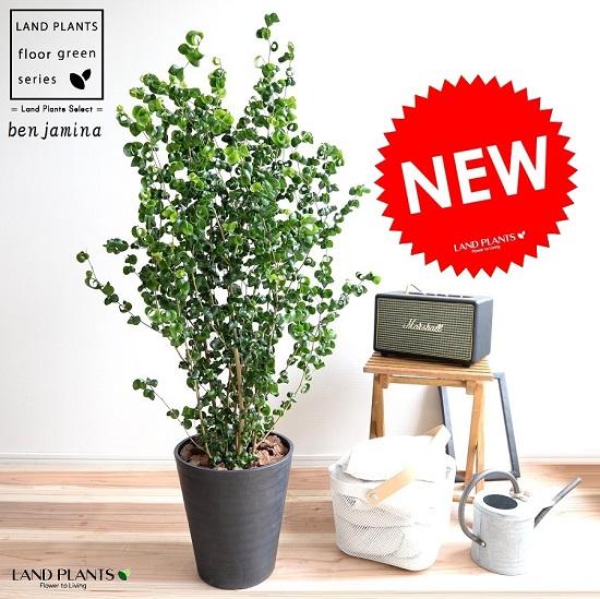 ベンジャミン (バロック) 黒色 セラアート鉢 8号 鉢植え 鉢 苗 苗木 大型 観葉植物 黒 ブラック ラウンド 丸 送料無料