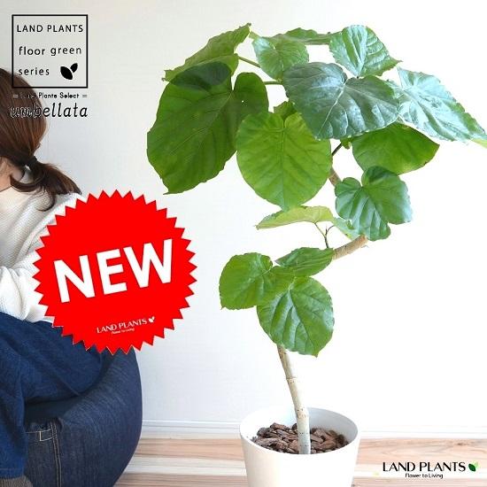ウンベラータ(3Dカーブ曲がり) セラアート鉢 8号 白色 鉢植え 大型 鉢 苗 苗木 観葉植物 送料無料 ホワイト 白 ラウンド 曲げ らせん