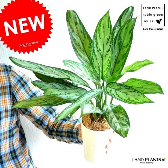 濃い緑に銀緑色の斑が大きく入る美しい葉模様が素敵です アグラオネマ シルバークイーン 4号 白色 最安値挑戦 プラスチック鉢 ポイント消化 秀逸 サトイモ コンムタツム 敬老の日 観葉植物