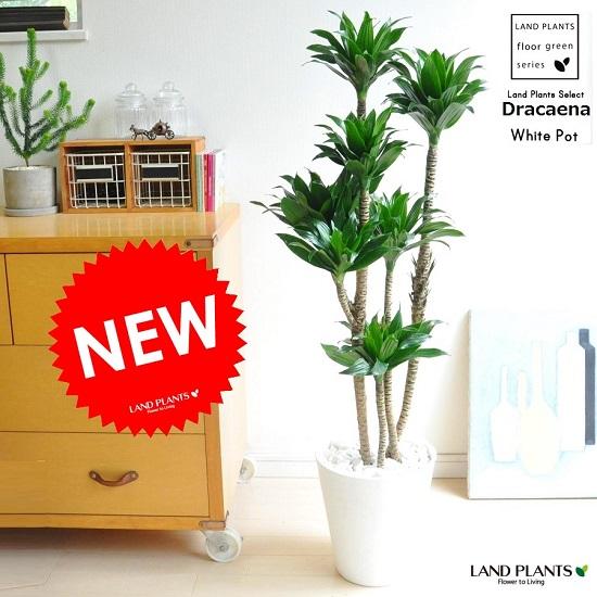 ドラセナ(コンパクタ) 白色 セラアート鉢 8号 ドラセナコンパクター 割れない 祝い花 ドラセナ・コンパクタ コンパクター 敬老の日 ポイント消化 観葉植物