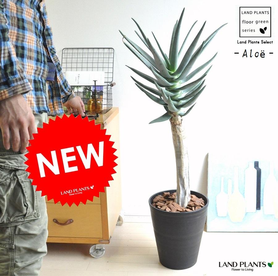 アロエ(ディコトマ) 10号 黒色 セラアート鉢 アロエの木 観葉植物 鉢植え 敬老の日 ポイント消化 観葉植物