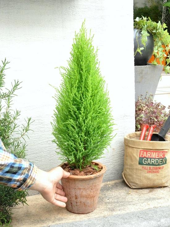 ゴールドクレスト 苗 苗木 ウイルマ MOSS POT 成長速度の速い植物 【選べる鉢色】 クリスマスツリー ウィルマ 寄せ植えや、お庭のシンボルツリーに! テラコッタ鉢に植えた コニファー鉢植え コニファ クレスト
