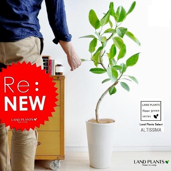 【美樹形】 アルテシーマ 白色スリム丸型陶器に植えた フィカス・アルテシーマfloor green series ゴム ゴムの木 敬老の日 ポイント消化 観葉植物