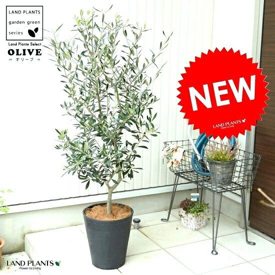 オリーブの樹 8号サイズ シンボルツリーに最適です オリーブ 8号 黒色 セラアート鉢 鉢植え ☆最安値に挑戦 オリーブの木 プラスチック 最新アイテム ブラック 鉢 黒 観葉植物 大型 苗木 ココヤシファイバー 苗