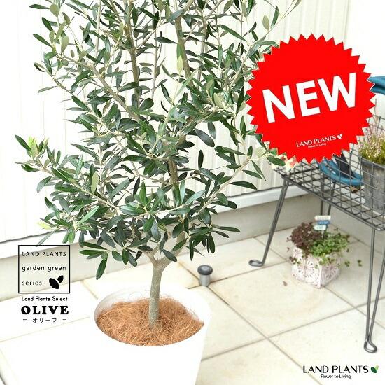 オリーブの樹 8号サイズ シンボルツリーに最適です オリーブ 白色 セラアート鉢 鉢植え オリーブの木 苗 ココヤシファイバー 観葉植物 プラスチック ホワイト 大型 数量限定 白 鉢 苗木 人気上昇中 丸
