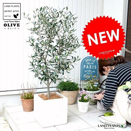 オリーブの樹 8号サイズ シンボルツリーに最適です オリーブ 白色 ファイバー 限定品 キューブ 陶器鉢 鉢植え 軽量 再入荷/予約販売! 株立ち トネリコ FIBER CLAY 苗木 ファイバークレイ ホワイト 四角 オリーブの木 正方形 スクエア 繊維 苗 送料無料 大型 観葉植物 鉢 白