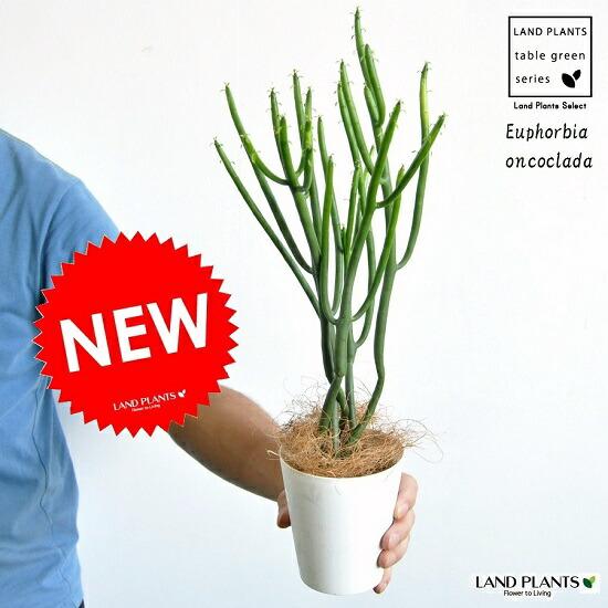 母の日ギフトニョキニョキ 細長く伸びた 多肉植物です ユーフォルビアオンコ お試し ユーフォルビア 春の新作シューズ満載 オンコクラータ 4号 ☆最安値に挑戦 白色 プラスチック鉢 フユーフォルビア トウダイグサ oncoclada カクタス 苗 ユーホルビア 苗木 Euphorbia ポイント消化 観葉植物 マダガスカル 敬老の日
