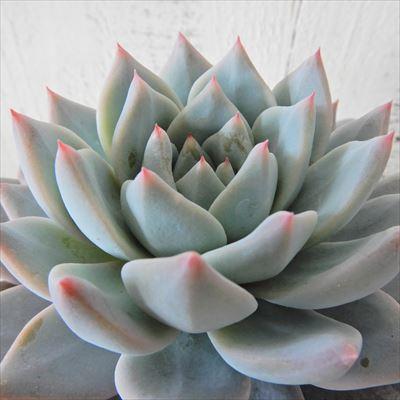多肉植物 エケベリア 安値 ブルーバード 9cmポット 観葉植物 安心の定価販売 インテリア okr