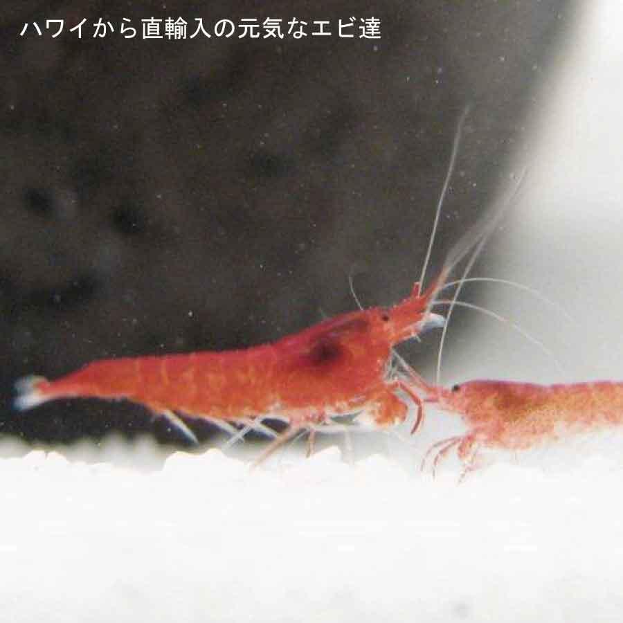 新しい仲間を迎えましょう ※ エビ のみ 癒しエビ ピクシ―シュリンプのみ6匹 手軽 訳あり品送料無料 初心者 熱帯魚 アクアリウム 癒しグッズ 永遠の定番 インテリア