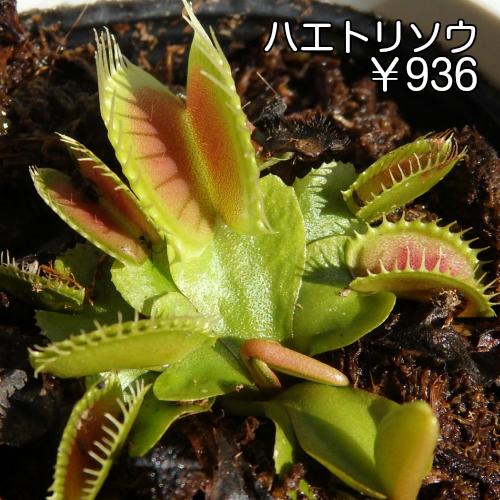 巣ごもり生活 観葉植物 面白植物 ガーデニング 自由研究 キャンペーンもお見逃しなく インスタグラム 食虫植物 供え ハエトリソウ普及種 防虫 小 ステイホーム