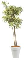 ソングオブインディア10号特殊鉢観葉植物 インテリア 観葉植物インテリア 観葉植物 送料無料 人気の観葉植物 おしゃれ観葉植物 お部屋観葉植物