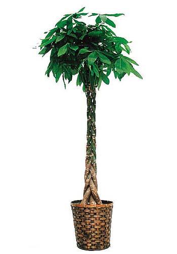 パキラ10号観葉植物 インテリア 観葉植物インテリア 観葉植物 送料無料 人気の観葉植物 おしゃれ観葉植物 お部屋観葉植物
