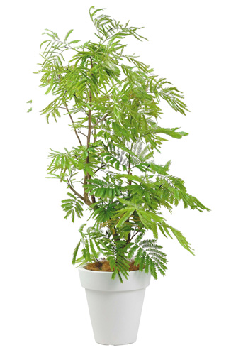 エバーフレッシュ10号特殊鉢観葉植物 インテリア 観葉植物インテリア 観葉植物 送料無料 人気の観葉植物 おしゃれ観葉植物 お部屋観葉植物