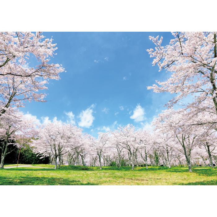 お風呂ポスター 満開の桜 B1(103×72.8cm) 長期固定タイプ(吸着素材)