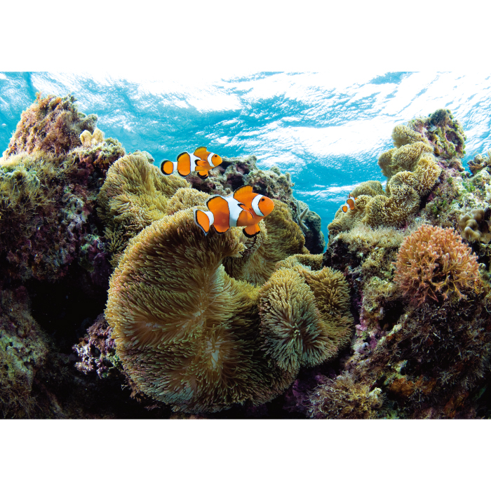お風呂ポスター クマノミと珊瑚 B1(103×72.8cm) 長期固定タイプ(吸着素材)