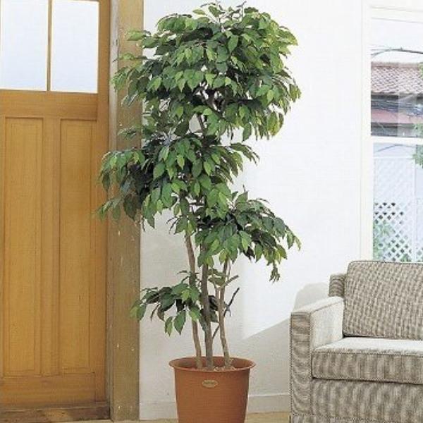 人工観葉植物 ピュアメイト フィカス・ベンジャミン 150cm 送料無料( 光触媒 消臭 インテリア 大型 )